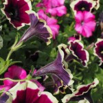 Ako pestovať petúnie
