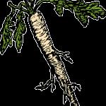 Ako pestovať chren