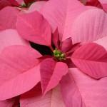 Ako pestovať vianočnú hviezdu