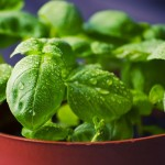 Podomácky možno pestovať šalvia lekársku aj všetky ďalšie bylinky