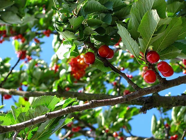 sadíme čerešňa