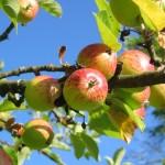 Vysádzame ovocné stromčeky