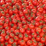 Výsadba a hnojenie rajčín