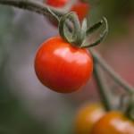 Bežné problémy pri pestovaní rajčiakov