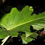 Alocasia , ako pestovať túto rastlinu s krásnymi listami?