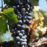 Ako pestovať vínnu révu