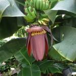 Ako pestovať banánovník?