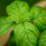 Ako pestovať bazalku doma