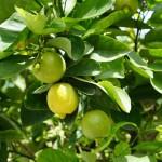 Z histórie citrónovníka