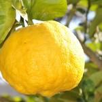 Ako pestovať citrusy?