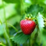 Ako pestovať jahody?