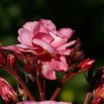 Ako pestovať oleander