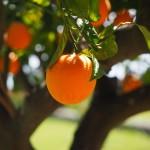 Sadenie ovocných stromov krok za krokom