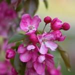 Ako pestovať rhododendron