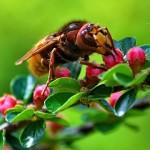 Ako sa zbaviť sršňov na záhrade?